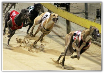 greyhounds betting tips